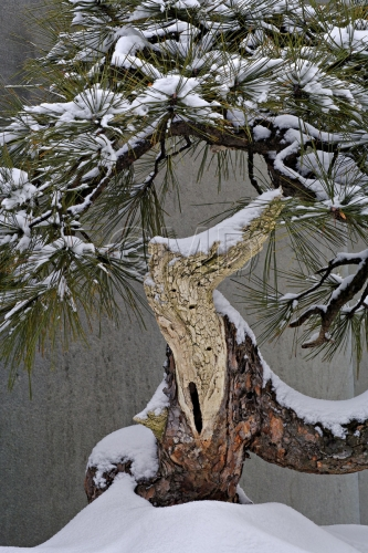 Pine Bonsai and Snow
