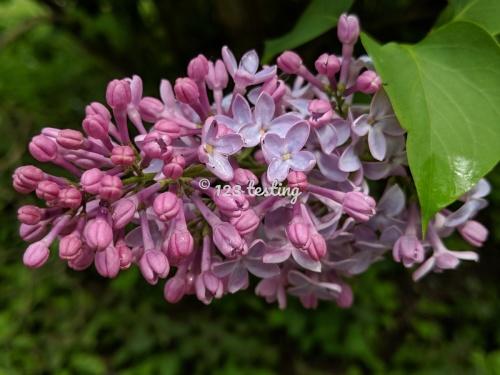 I like lilacs