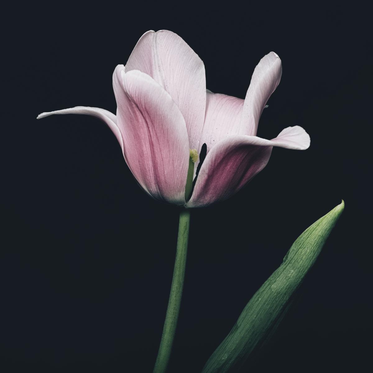 Tulip #158 (large view)