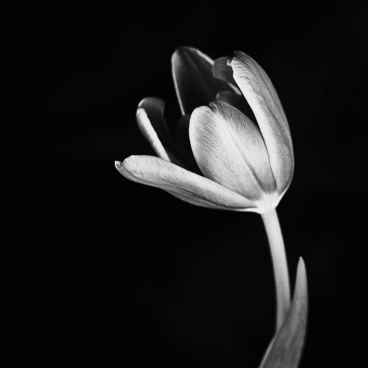 Tulip #165 (large view)