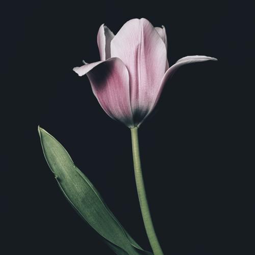 Tulip #0154
