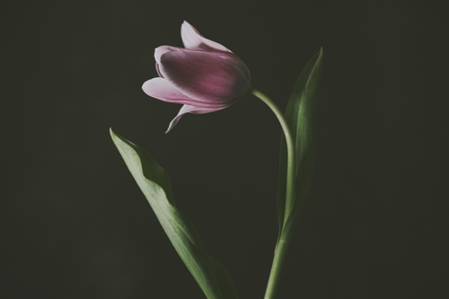 Tulip #0152