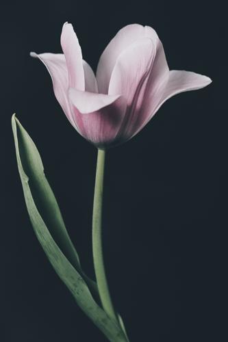 Tulip #0153