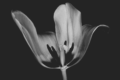 Tulip #0156
