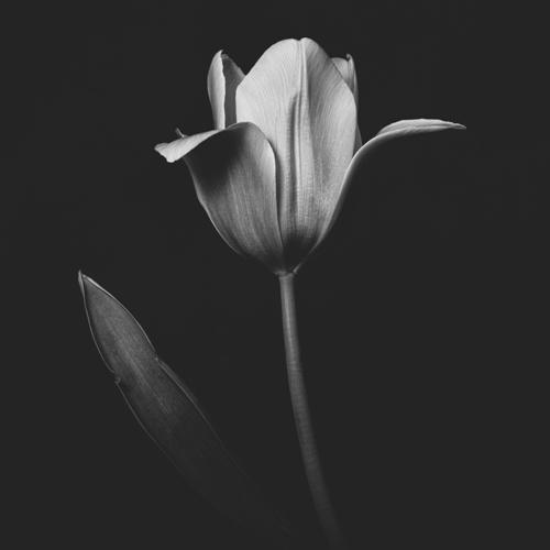 Tulip #0155