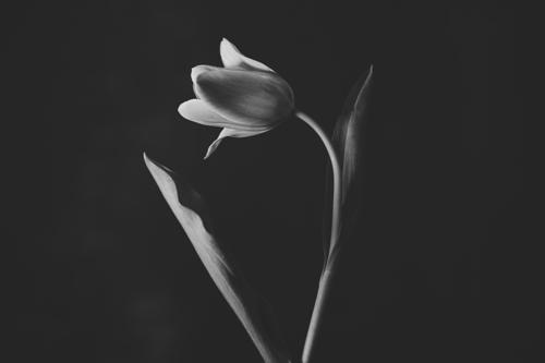 Tulip #0151