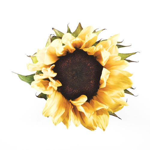 Sunflower #2