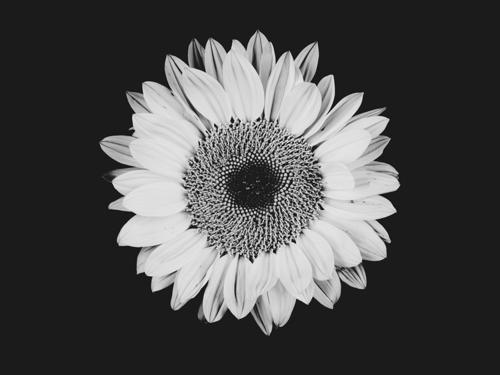 Sunflower #8