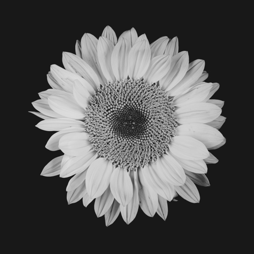 Sunflower #10