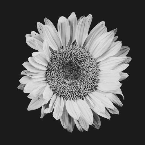 Sunflower #14