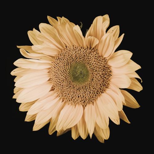 Sunflower #13