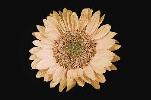 Sunflower #12