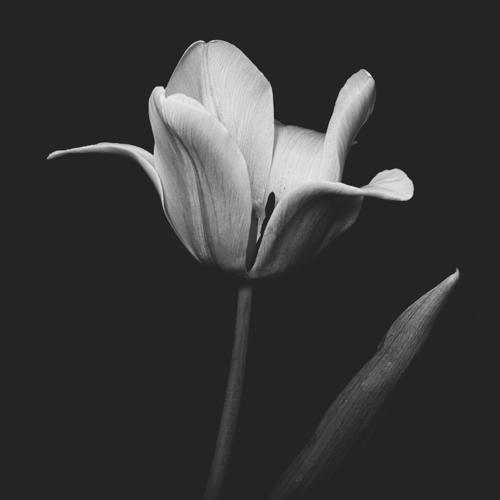 Tulip #157