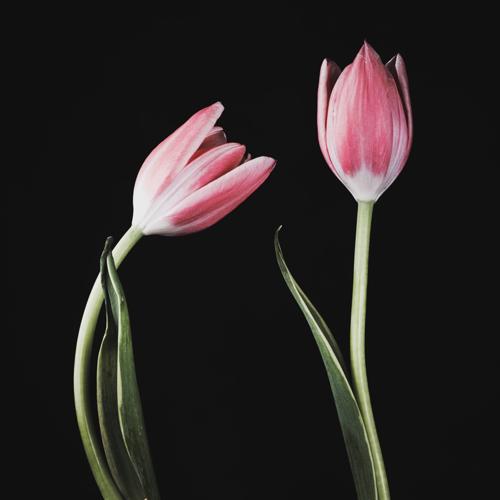 Tulip #159