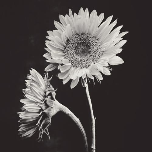 Sunflower #15