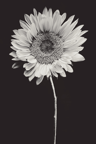 Sunflower #17