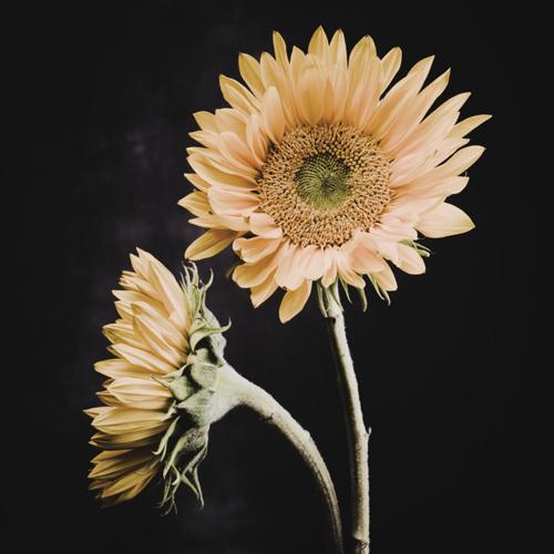 Sunflower #16