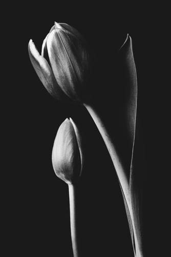 Tulip #173