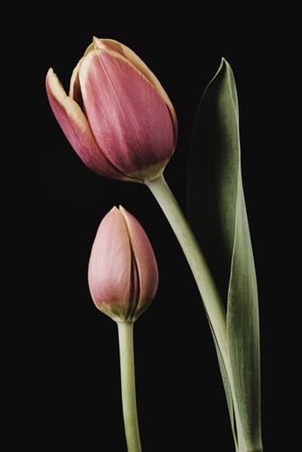 Tulip #174