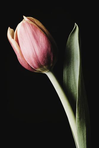 Tulip #171