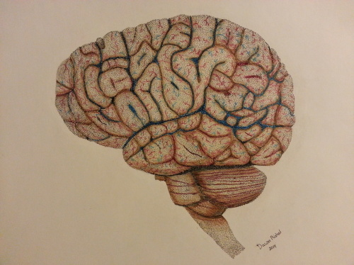 Anatomy study of the brain.