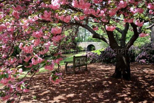 Bench Beneath Cherry Blossoms