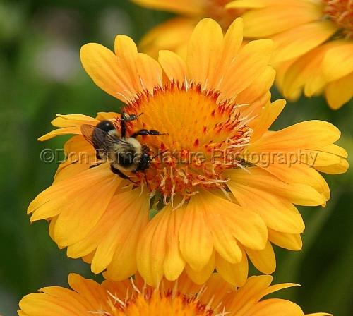 Bumblebee on Gaillardia