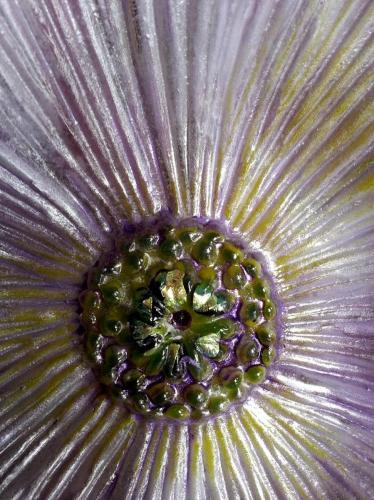 Purple Poppy close up