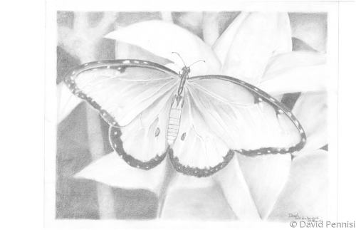 Butterfly by David Pennisi
