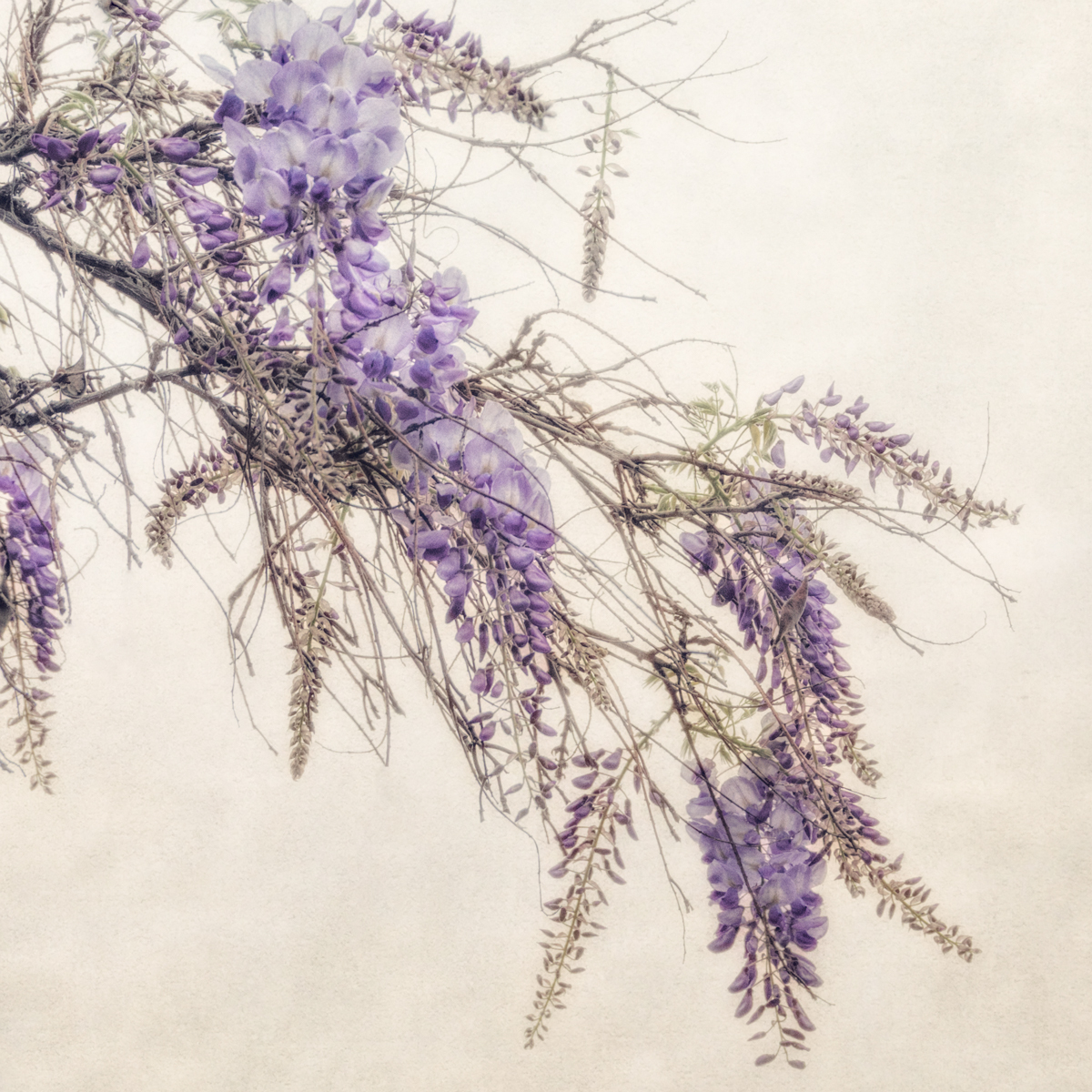 Wisteria (large view)