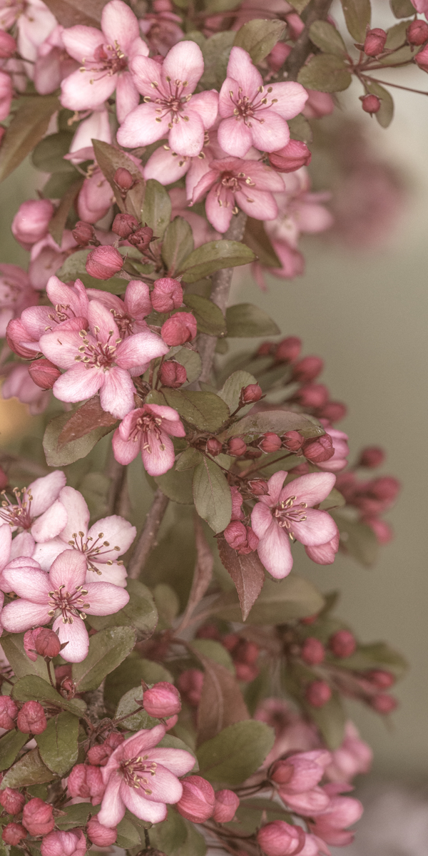 Pink Blossoms (large view)