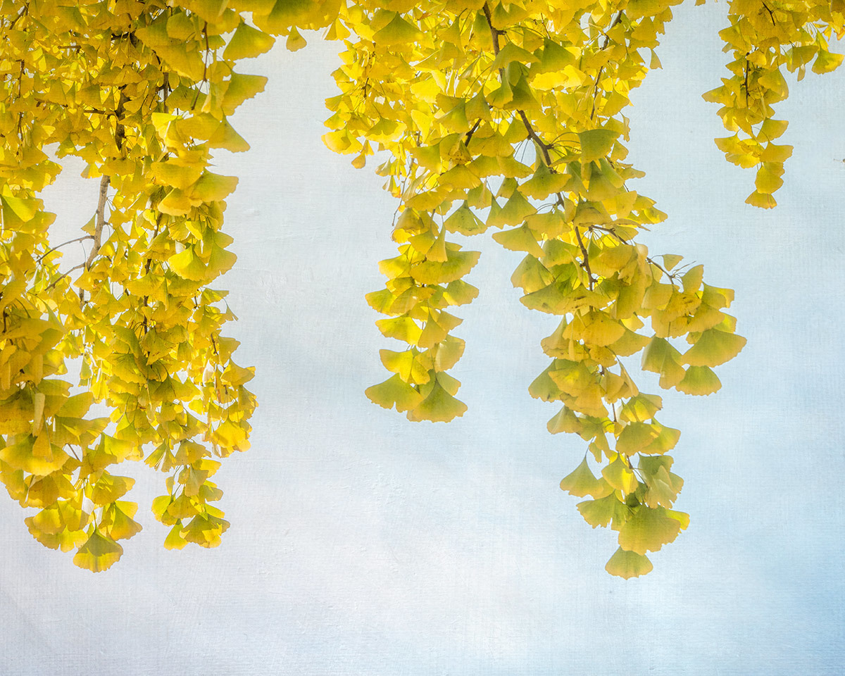 Yellow Ginkgo (large view)