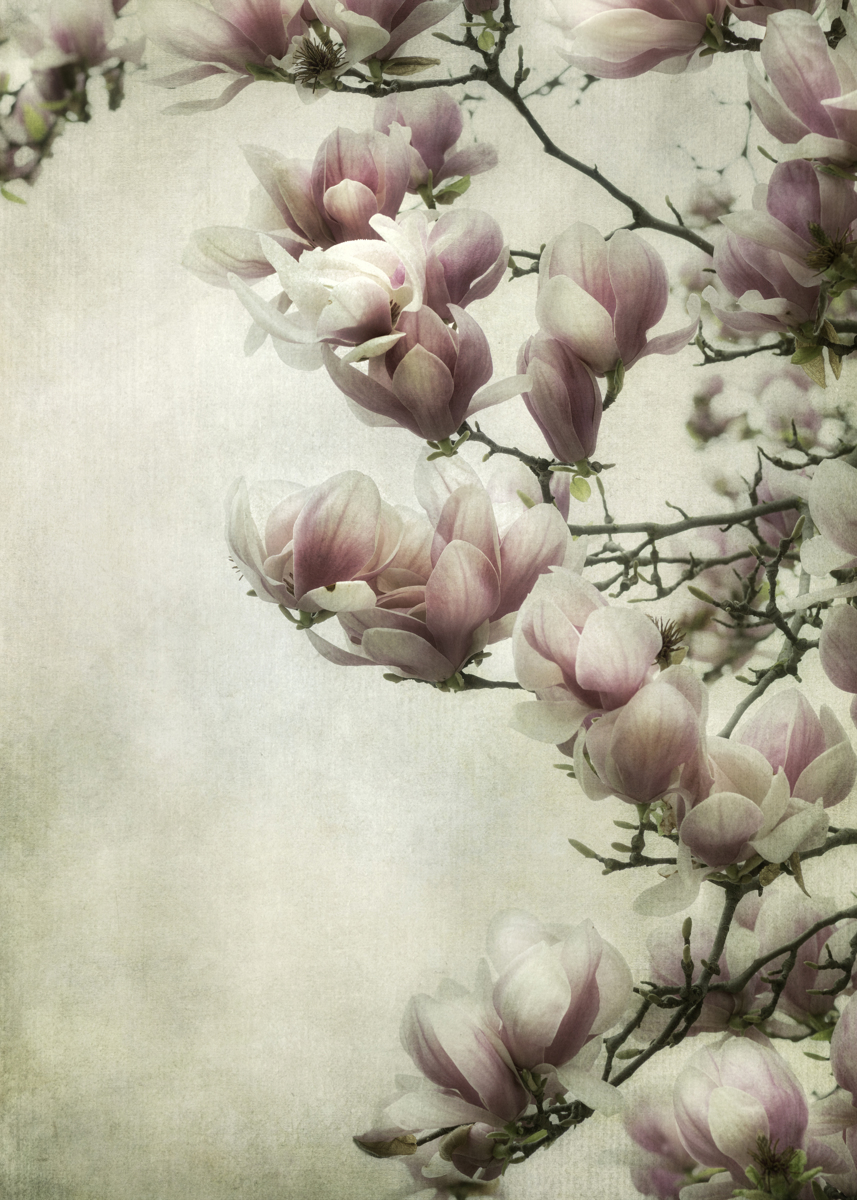 Magnolia Blossoms (large view)