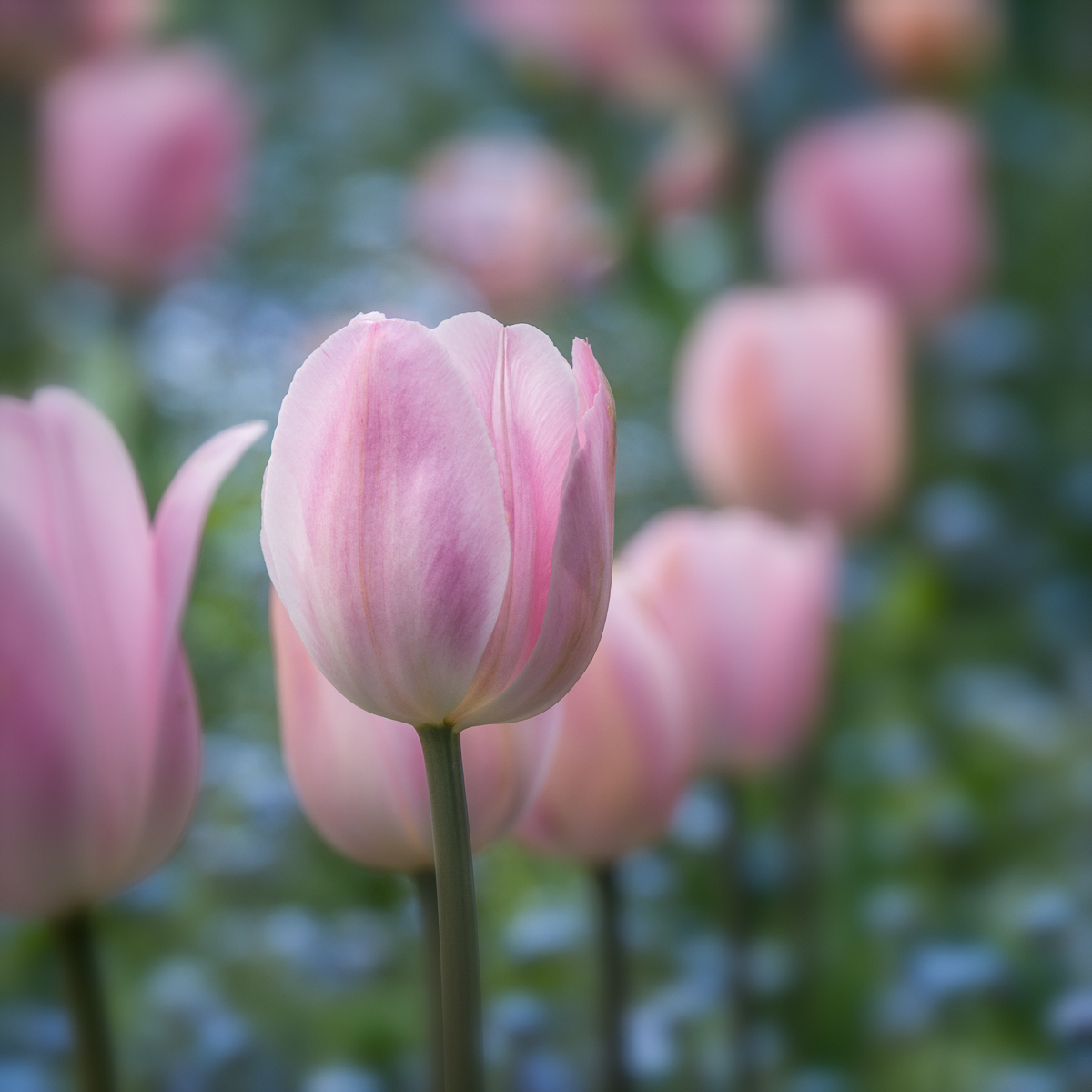 Pink Tulips (large view)