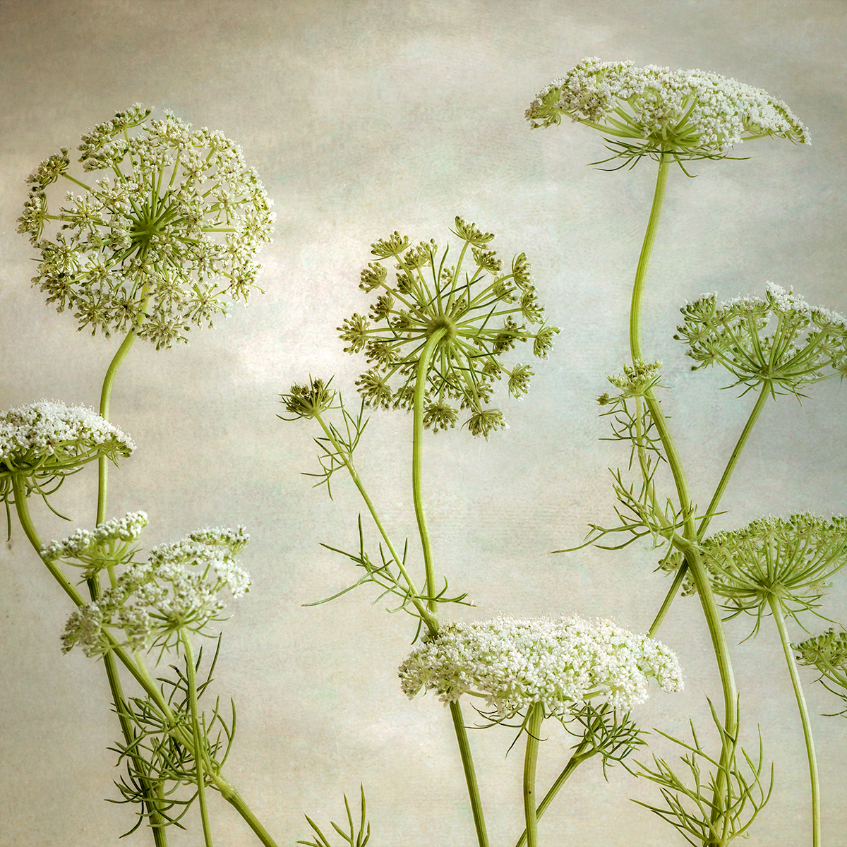 Queen Anne's Lace II (large view)
