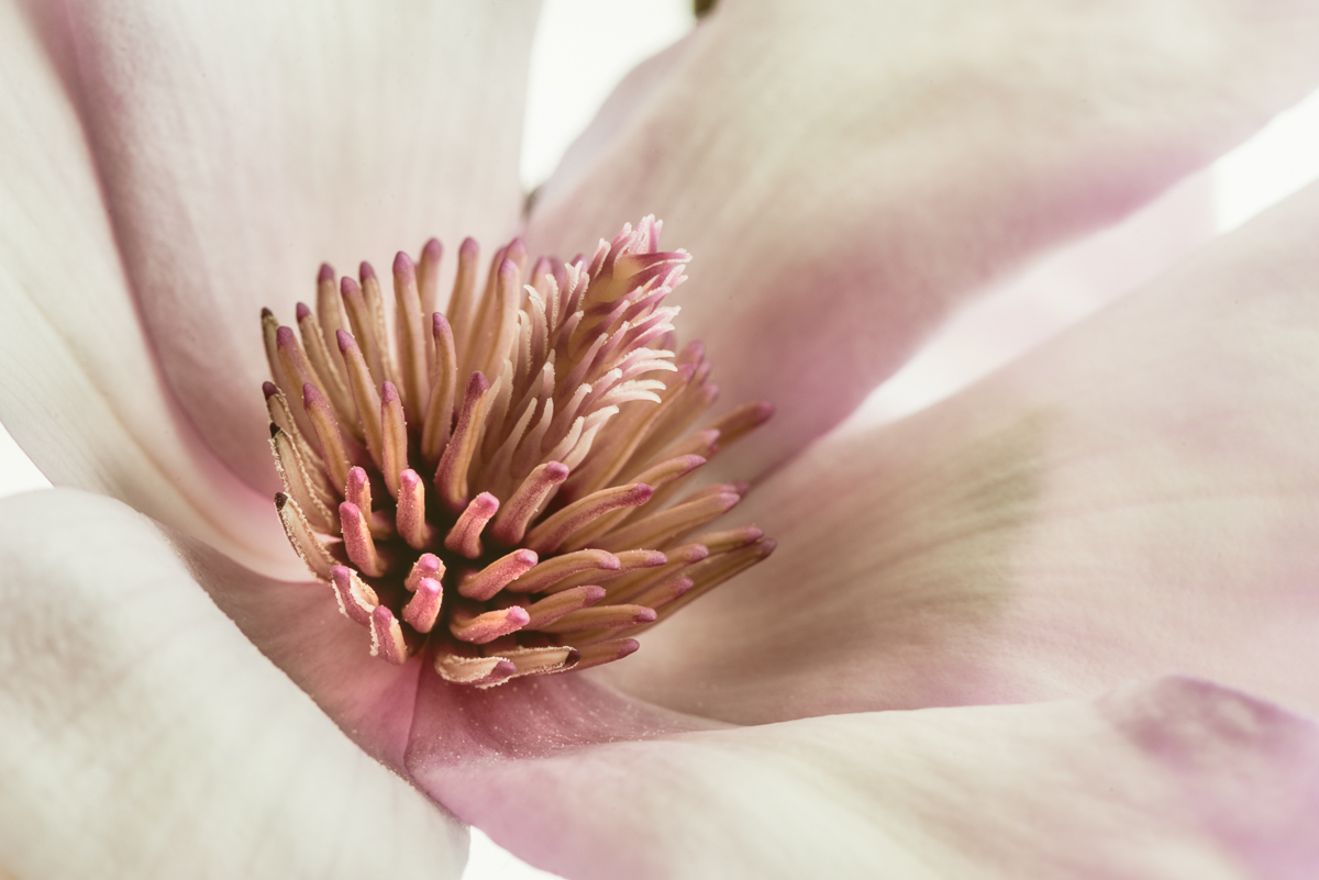 Pink Magnolia III (large view)