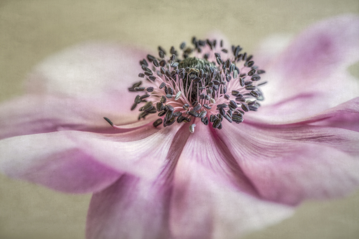 Anemone (large view)