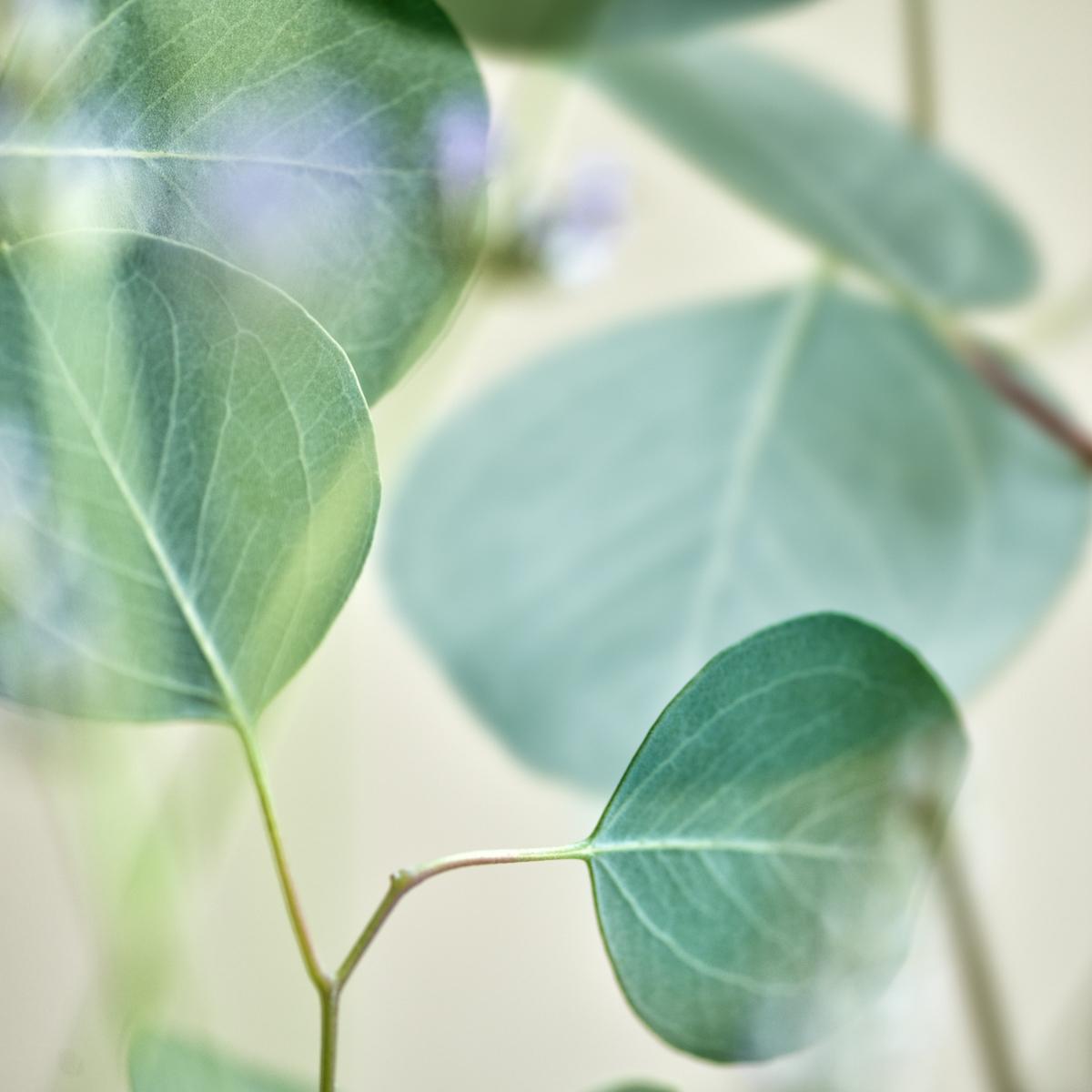 Eucalyptus Leaves II (large view)