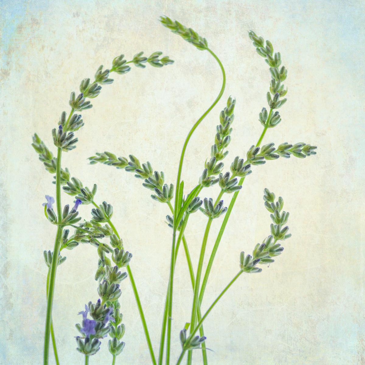 Lavender I (large view)