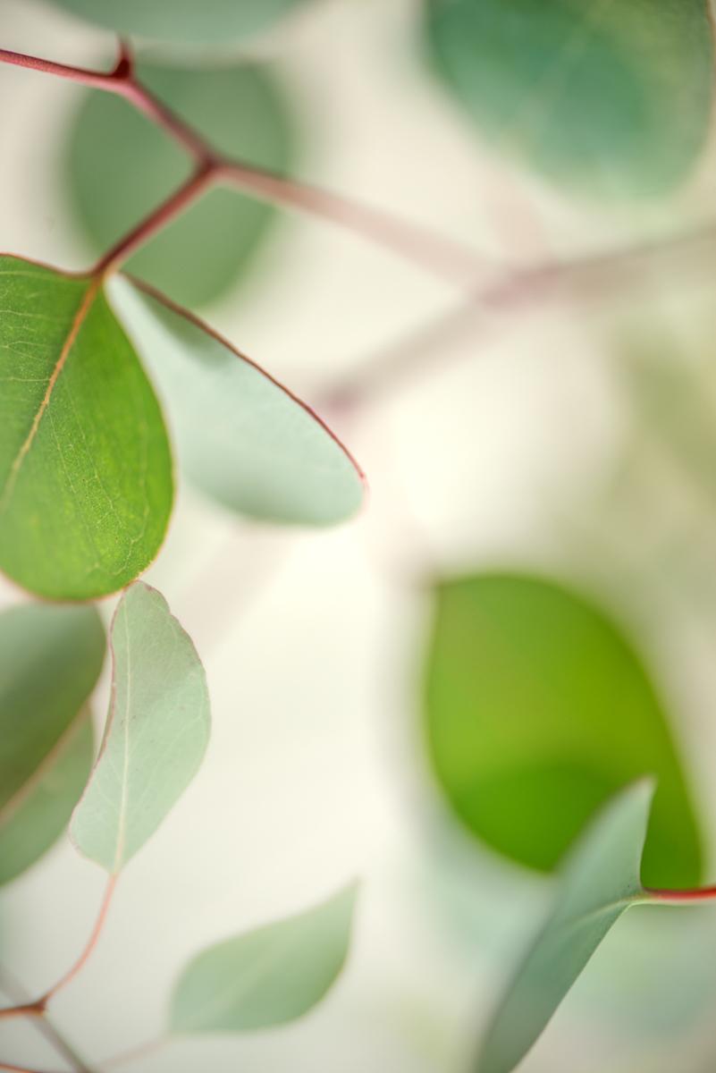 Green Eucalyptus I (large view)