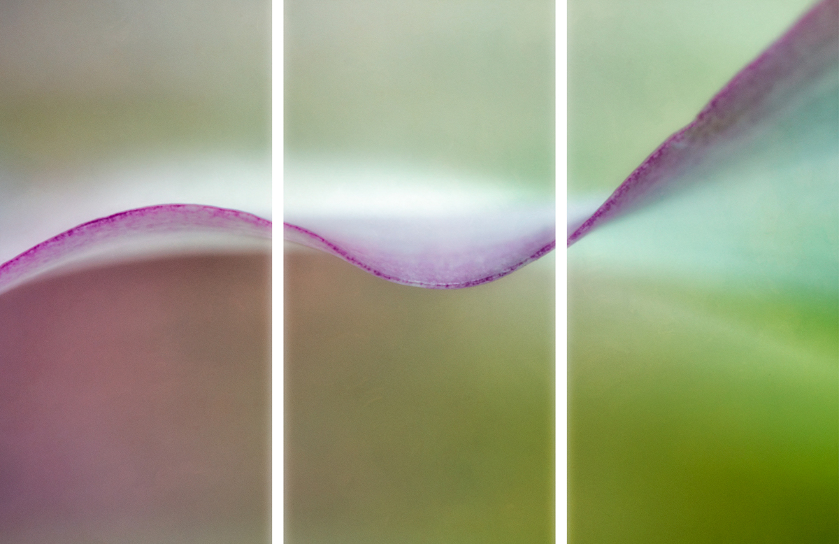 Pink Calla Lily II Triptych (large view)