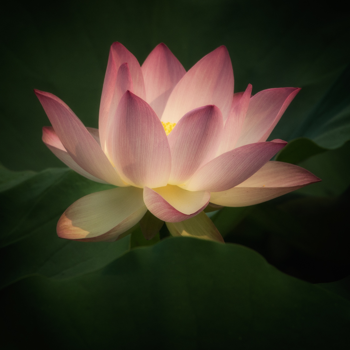 Lotus Blossom II (large view)