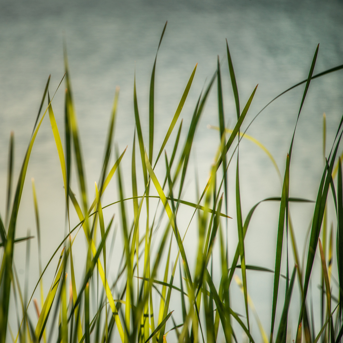 River Grass I (large view)