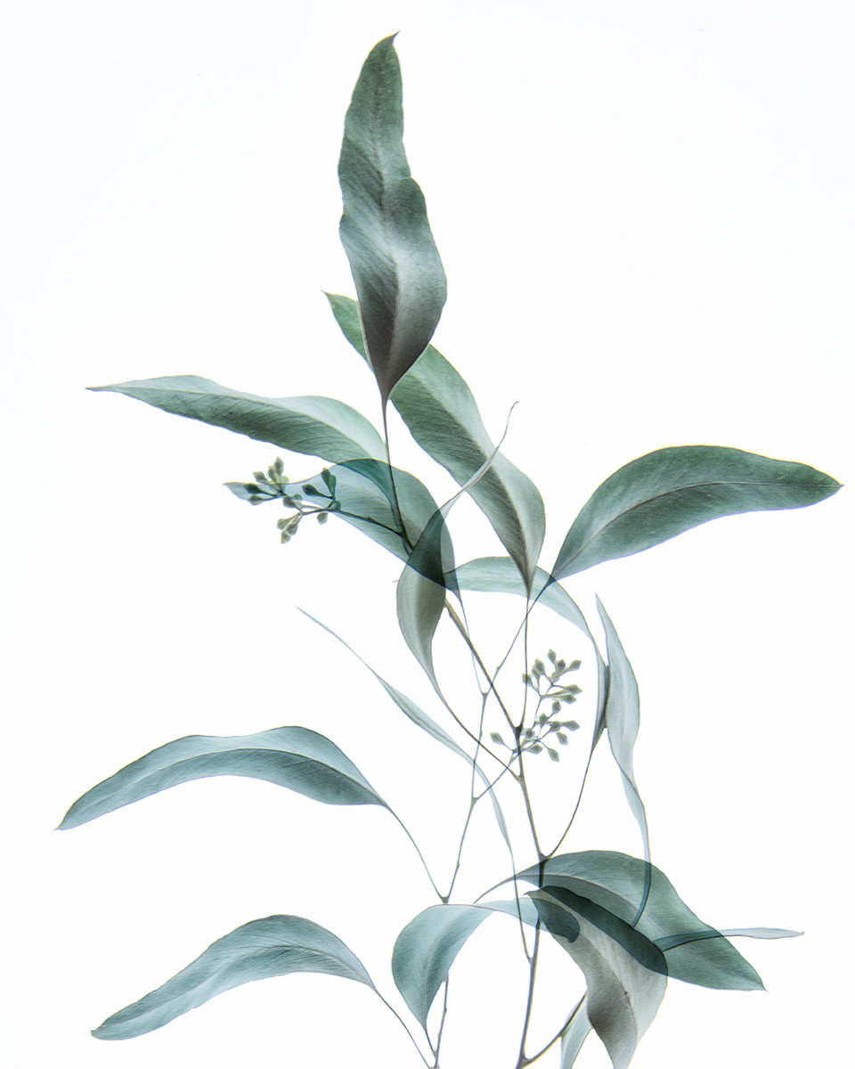 Eucalyptus Study II (large view)