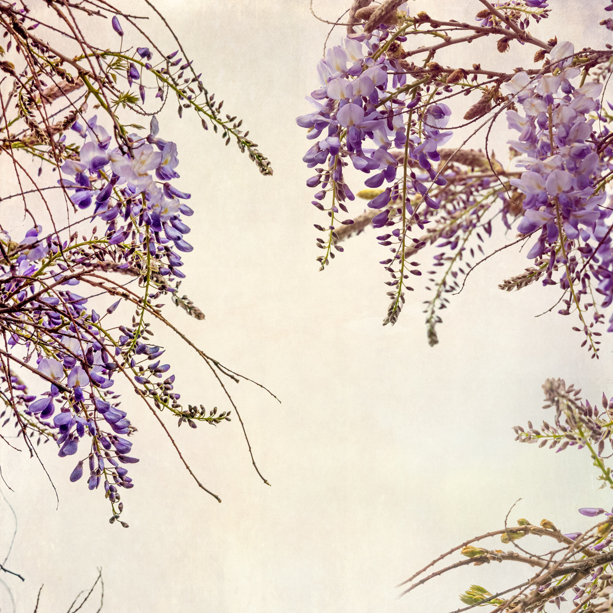Wisteria Whispers (large view)