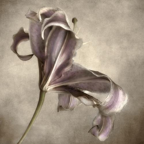Purple Lily by Dianne Poinski