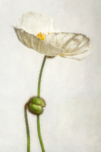 White poppy I by Dianne Poinski