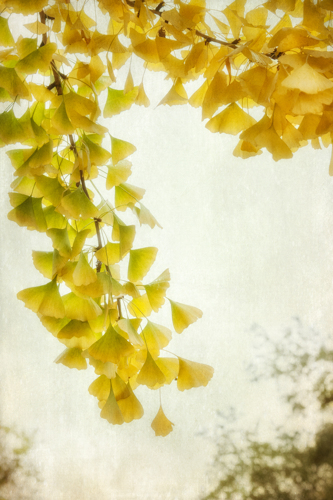 Ginkgo by Dianne Poinski