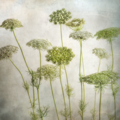 Queen Anne's Lace I (large view)