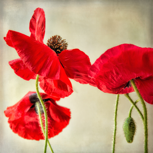 Red Poppies by Dianne Poinski Studio